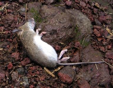 ヒメネズミの画像 p1_20